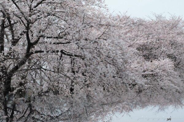 烏川沿いの桜