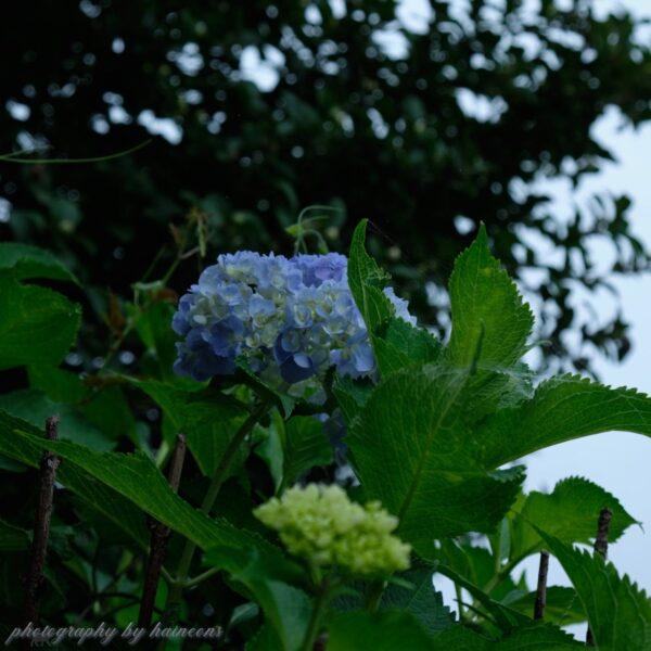 2019/07/12 紫陽花